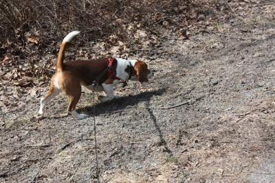 beagle on a hike following his nose