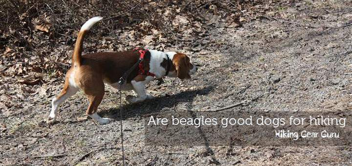 Are beagles good dogs for hiking