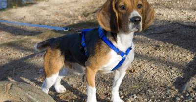 keeping your beagle on a leash while hiking