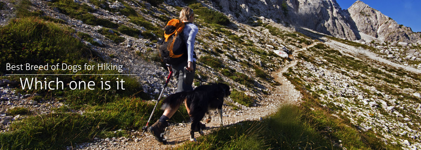 Best Breed of Dogs for Hiking - Hiking Gear Guru