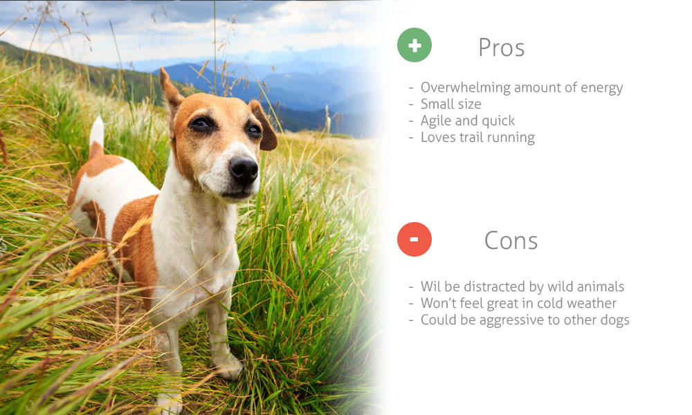 Jack Russell for Hiking Companion